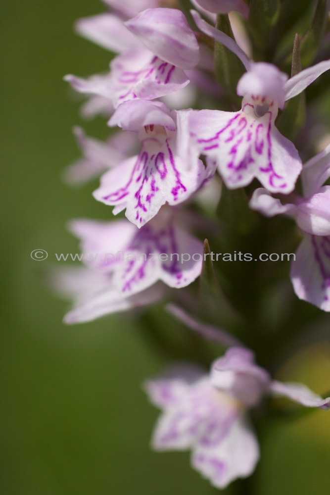 geflecktes knabenkraut dactylorhiza maculata
